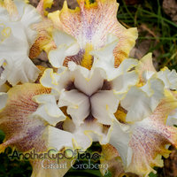Yellow Fringed Iris