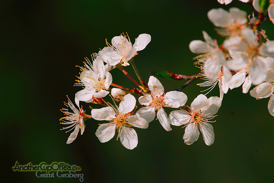 Wild-Plum-Blossoms