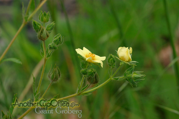 Cinquefoil-Flower-Profile