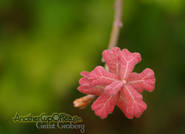 Early-Red-Oak-Leaves