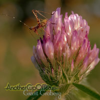 Cricket on Pink Clover