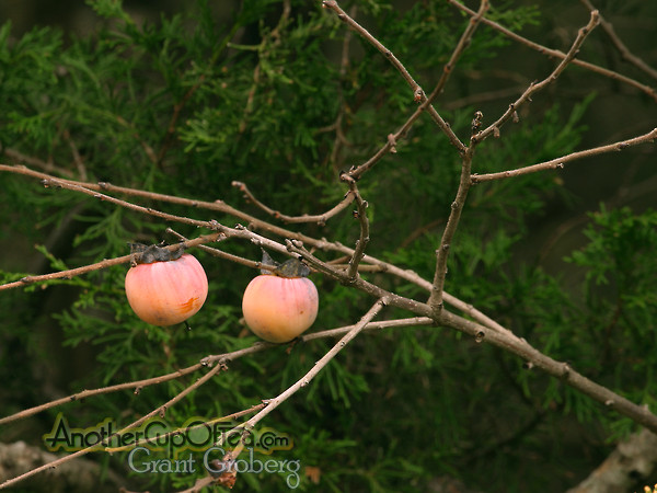 Wild-Persimmon-against-Cedar